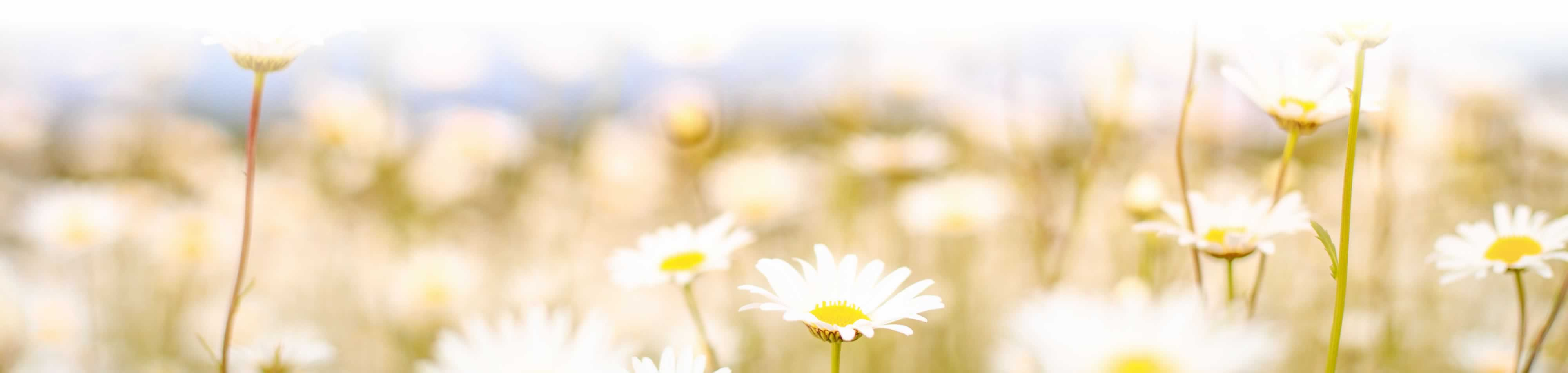 Photo of a field of camomile flowers.